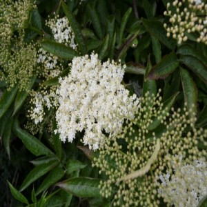 Time to slow down - Elderflower